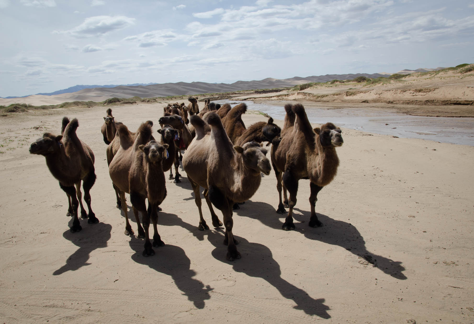 Curious camels