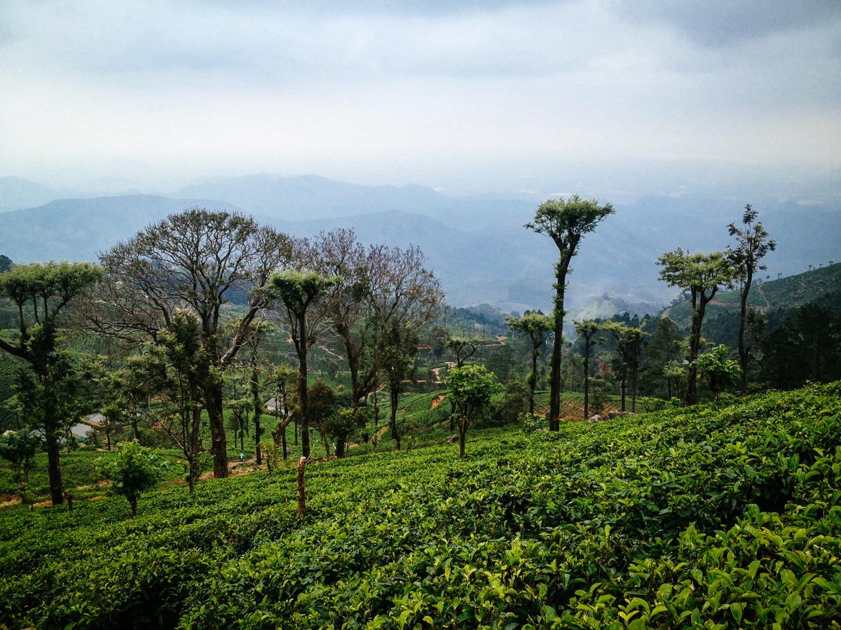 Tea plantation near Haputale